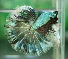 Green and white monster betta