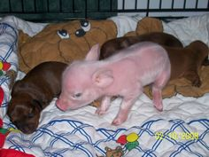 """From the book """"The Pink Pup"""" true story about a runt pig who is raised by daschunds ...so cute"""