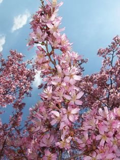 A breath-taking Weeping Cherry tree- March 29, 2010 by Missouri Botanical Garden, via Flickr
