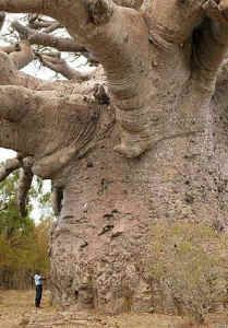 """Boabab: Also known as the """"tree of life"""", Baobab trees, found in Africa and India, can live for several thousand years. They have little wood fiber, but can store large quantities of water."""