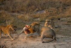 A dramatic fight between lions at Cheetah Plains Private Game Reserve.