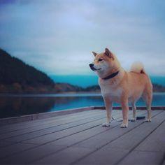 Marutaro - The famous Shiba-Inu Cute Dogs Breeds, Dog Breeds, Shiba Inu, Puppy Pictures, Dog Photos, Charles Darwin, Hachiko, Japanese Dogs, Australian Shepherd Dogs