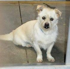 URGENT-SHELTER FULL  #FOUNDDOG 2-17-14 STRAY #SANJACINTO #CA 2.6 YEAR OLD MALE WHITE & TAN #TERRIER ID: 30525/HS182463 951-665-0719 https://www.facebook.com/photo.php?fbid=217325405130431&set=a.111068029089503.1073741827.100005589193392&type=1 951-654-8002