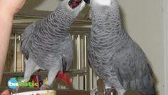 Couple de Perroquets Gris du Gabon
