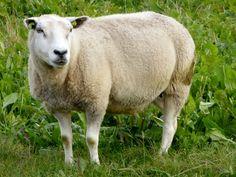Und+plötzlich+war+ich+ein+Schaf.+Naja+nicht+wirklich+natürlich.+Aber+ich+fühlte+mich+auf+jeden+Fall+wie+eines+der+unendlich+vielen+Schafe,+die+hier+überall+entspannt+und+glücklich+auf+den+Wiesen+herumstehen.+Und+das+kam+so+...