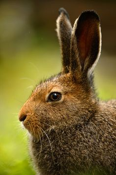 """""""I shall go until a hare...with sorrow and such mickle care. I shall go in the devil's name, and while I go home again.""""  --Maddy Prior, The Fabled Hare"""