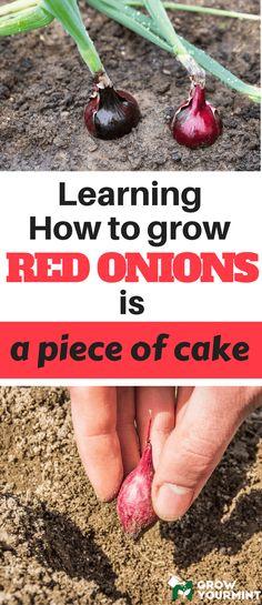 How To Grow Red Onions #gardens#onion#growyourmint