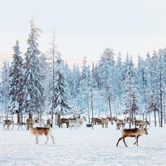 With a population of less than 3,000, Jokkmokk, Sweden, is not, for most of the year, a compelling place to visit. Sitting 3 miles north of the Arctic Circle, the town is snowy even in June, and the temperature frequently dips below zero. In Jokkmokk, #reindeer outnumber people by a wide margin. But for centuries, the Sami people — one of the few ethnic groups in the European Union to be recognized as aboriginal — have lived here as reindeer herders. For them, the animals are an organizing…