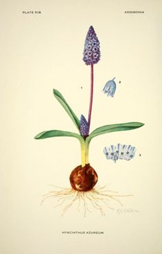 Azure Hyacinth.Illustration by Mary E. Eaton taken from Addisonia - March 1931. Published  by New York Botanical Garden The LuEsther T Mertz Library, the New York Botanical Garden Biodiversity Heritage Library.  archive.org
