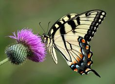 EXPLORE on July ~ An Eastern Tiger Swallowtail butterfly on thistle flower photographed along a hike and bike trail near Grapevine Lake in Texas. (from the archives) Butterfly On Flower, Butterfly Drawing, Butterfly Pictures, Trailing Flowers, Thistle Flower, Amphibians, Reptiles, Bike Trails, Felt Art