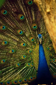 Dramatic Peacock Products You'll Love As Much as I Do - Ashley Hastings Books Zoo In India, Peacock Wallpaper, Make My Trip, Peafowl, Fantasy Romance, Content Marketing, Marketing Plan, Business Marketing, Romance Novels