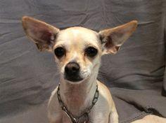 Chihuahua dog for Adoption in pomona, CA. ADN-542768 on PuppyFinder.com Gender: Female. Age: . Nickname: I1271525