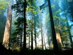 Coast redwood (Sequoia sempervirens) forest in northern California. Forest Of Dean, Tree Forest, Magical Forest, Misty Forest, Forest Mural, Forest View, Foggy Forest, Nana Mouskouri, Nature Landscape