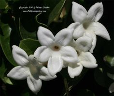 Stephanotis floribunda does well in full sun to light shade near the coast but requires some protection away from the coast.  The Madagascar Jasmine does best with the roots in a cool shaded location.  This plant was planted on the North side of a slatted fence so the plants could start out in shade and then shade their own roots.  Stephanotis floribunda does surprisingly well in a low water garden once established.  The fragrant flowers are often used in bridal nosegay's and grooms boutonnière's.  The Madagascar Jasmine blooms through much of the Summer.  Stephanotis floribunda is Winter hardy in frost free or nearly frost free gardens.