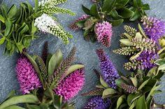 Buitenleven | Hebe=Tuinplant vd Maand Augustus - Stijlvol Styling woonblog www.stijlvolstyling.com