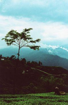 True Blue Darjeeling Tea