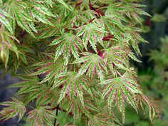 Acer palmatum 'Higasayama'   Japanese Maple.  Unusual tree with a unique variegated pattern.  Leaves are green with even white margins that start pink as leaves emerge in the spring (pictured).  The red color along the margins returns in the fall.  Best planted with protection from afternoon sun.  Upright grower to about 20'  with a spread of 15'.  Translation of Higasayama is 'parasol mountain.'