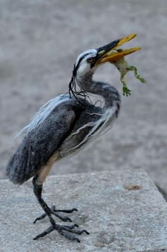 Needle Felted Blue heron with a frog #feltanimals