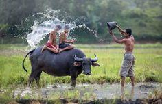 Water buffalo plus splashing fun!