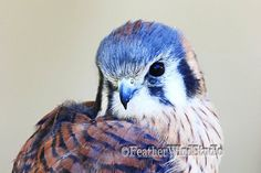 Kestrel Bird Photography  Cute American by FeatherWindStudio