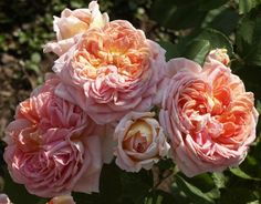 A modern shrub rose with glossy, bronze leaves and scented, double apricot flowers produced in summer. Can also make a short climber. Max Height Max Spread Flowers June to August. Orange Roses, Purple Roses, Garden Shrubs, Garden Landscaping, Shrub Roses, David Austin Roses, Climbing Roses, Alchemist, Garden Planning