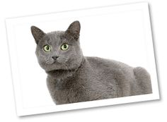 Chartreux: Originating in the French Alps, right outside of Paris, France, this breed was developed in a monastery named Le Grand Chartreux. These cats are known to be good vermin hunters and are terrific companions. These loyal, vocally quiet, and amiable furry companions are playful and affectionate. They do enjoy attention and are very docile.