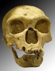 Homo neanderthalensis - Neanderthal skull discovered in 1908 at La Chapelle-aux-Saints (France). Homo Sapiens Sapiens, Anthropologie, Evolutionary Biology, Historia Natural, Human Evolution, Evolution Science, Early Humans, Ancient Artifacts, Primates