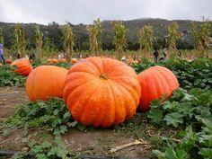 CALABAZA GIGANTE atlantic giant 7 semillas seeds graines | eBay