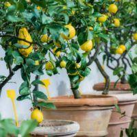 Lemon Tree Care: Fresh lemons in the pot! Indoor Vegetable Gardening, Container Gardening, Gardening For Beginners, Gardening Tips, Indoor Lemon Tree, Lemon Tree From Seed, Meyer Lemon Tree, How To Grow Lemon, Lemon Seeds