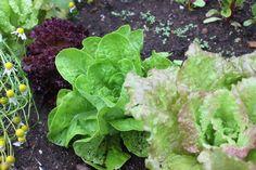 Niki Jabbour - The Year Round Veggie Gardener (Canadian)