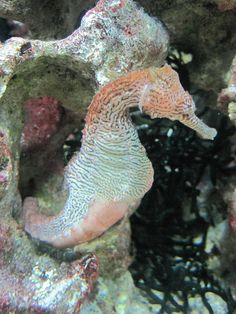Seahorse (Hippocampus sp.), via Flickr.  Waikiki Aquarium, Honolulu