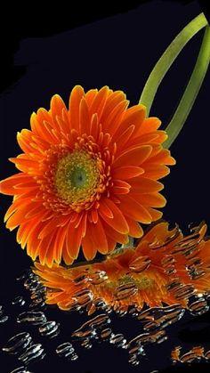 Srimad Bhagavath Mahapuran:       Srimad BhagavathMahapuran      Om Namo Bhaga... Elegant Flowers, Exotic Flowers, Orange Flowers, Beautiful Flowers, Gerbera Flower, My Flower, Orange Twist, Good Morning Flowers, Humorous Animals