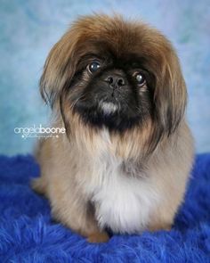 Pugsley is an adoptable Pekingese searching for a forever family near St. Paul, MN. Use Petfinder to find adoptable pets in your area.