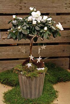 http://holmsundsblommor.blogspot.se/2012/12/symboliskt-stjarnfall.html Julpyntad vit azalea på stam Azalea, rhododendron