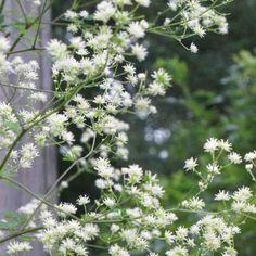 Violfrøstjerne 'Alba' trives bedst i en fugtig, veldrænet jord: den trives fint i et surbundsbed, i skovbundsbedet. Foretrækker sol eller vandrende skygge.