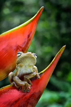 Gladiator Frog by Dionys Moser on 500px; Ecuador