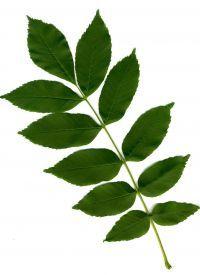 Blatt von Fraxinus excelsior Gemeine Esche
