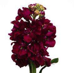 """flowers """"stock flower"""" burgundy"""
