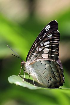 Clipper Butterfly by Carol Bailey White