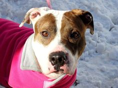 SAFE ! 01/13/14  Manhattan Ctr P SMACKS  A0988706 Female wht & brwn pit mix 2 YRS  STRAY 1/2/14 Very sociable, welcoming people in, wagging her tail and seeking caresses. Walks well on leash and likely house trained. Cool w/ other dogs met on the way or in the yard. Smacks is an excellent lap dog. Might not have had the life of a pampered pet, judging at the calluses and old sores she has on her limbs, but she has no grudge. Just needs a warm bed, a full bowl, and lots of love forever!