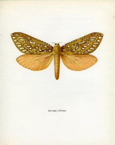 Vintage Moth Print Silver Spotted Ghost by MarcadeVintagePrints, €10.60 #BUTTERFLY
