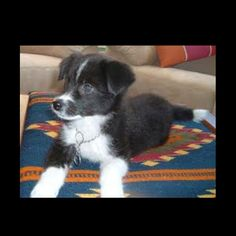 Borador!!! (: lab & border collie mix same breed as mulan