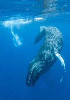 The RARE North Atlantic Right Whale My Tattoo Ideas - Rare moment 40 ton whale jumps completely out of the water