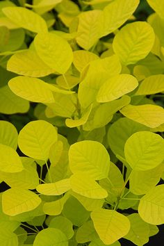 Buy smoke bush Cotinus coggygria Golden Spirit ('Ancot') (PBR) - Gold leaves and stunning autumn colour: pot Delivery by Crocus Little Gardens, Back Gardens, Garden Shrubs, Garden Plants, Smoke Tree, Yellow Plants, Coastal Gardens, Fence Landscaping, Rooftop Garden