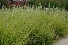 Sesleria Autumnalis; this is a great clumping grass to use under established trees as it tolerates root competition