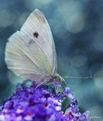 Pieris Project is a citizen science project to To collect cabbage white butterflies from across the world