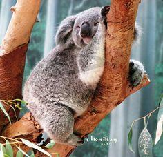 Sleepy, dreamy, Koala by ~Monikaygifts on deviantART