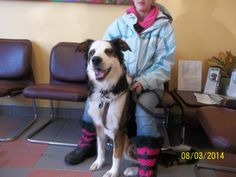 Paw circle donations for Bandit direct to Beechwood AH 613-748-9820.  Bandit did really well with his recheck and we hope will be even better in a few weeks to have his alter!    Still not sure if his tendon will require surgery his paw circle needs funds direct the Beechwood AH 613-748-9820.  From chewing, de-furring, and limping to no longer suffering from mange, allergies and a laminate floor accident.  Bandit is ALMOST done just we need to alter him.