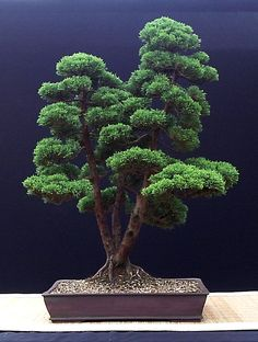 The Bonsai of John Pitt