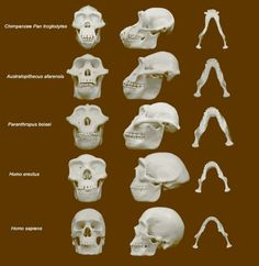 Study Sheds New Light on Hominin Face Evolution. Hominin faces – especially those of australopithecines – evolved to minimize injury from punches to the face during fights between males – over resources, women and other disagreements, according to a review study conducted by Dr David Carrier and Dr Michael Morgan from the University of Utah.